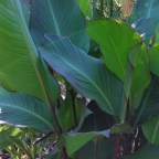 Canna musifolia from seeds