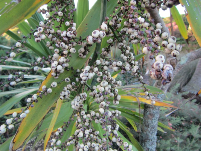 Cordyline obtecta seeds