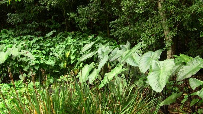 colocasia and bog