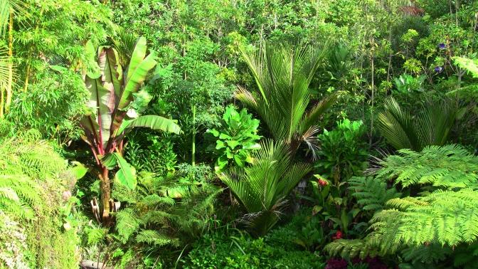 cyathea cooperi and ensete maurelli and nikau palm