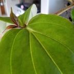 What big leaves you have, Medinilla 'Kinabalu'
