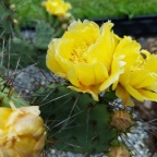 It's almost summer, and the cactus are blooming