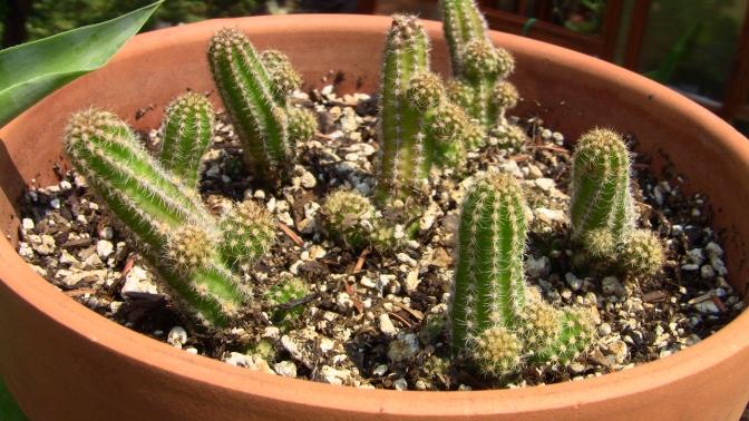 echinopsis chamaecereus large