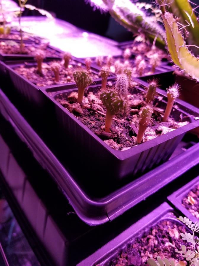 cereus peruvianus seedlings